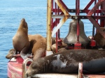 Redondo Beach, King Harbor, Sea Lions, Jim Caldwell
