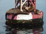 Sea Lions, Redondo Beach, Jim Caldwell