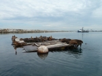 King Harbor, sea lions, Redondo Beach, sea lions