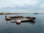 King Harbor, sea lions, Redondo Beach, sea lions