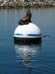 Redondo Beach, King Harbor, Jim Caldwell, sea lion