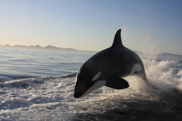 Killer whale surfing, Orca wave riding, Baja Orcas, Loreto, Killer Whale Playing in wake of yacht